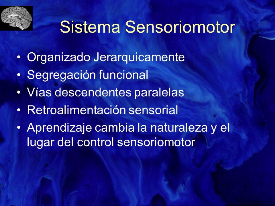 Jerarquía Sensoriomotora Corteza de asociación Corteza motora secundaria Corteza motora primaria Cerebelo y Ganglios basales Vías motoras descendentes Circuitos espinales Sensoriomotores