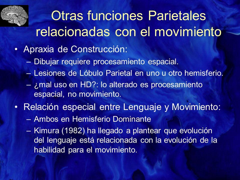 Otras funciones Parietales relacionadas con el movimiento Apraxia de Construcción: –Dibujar requiere procesamiento espacial. –Lesiones de Lóbulo Parie