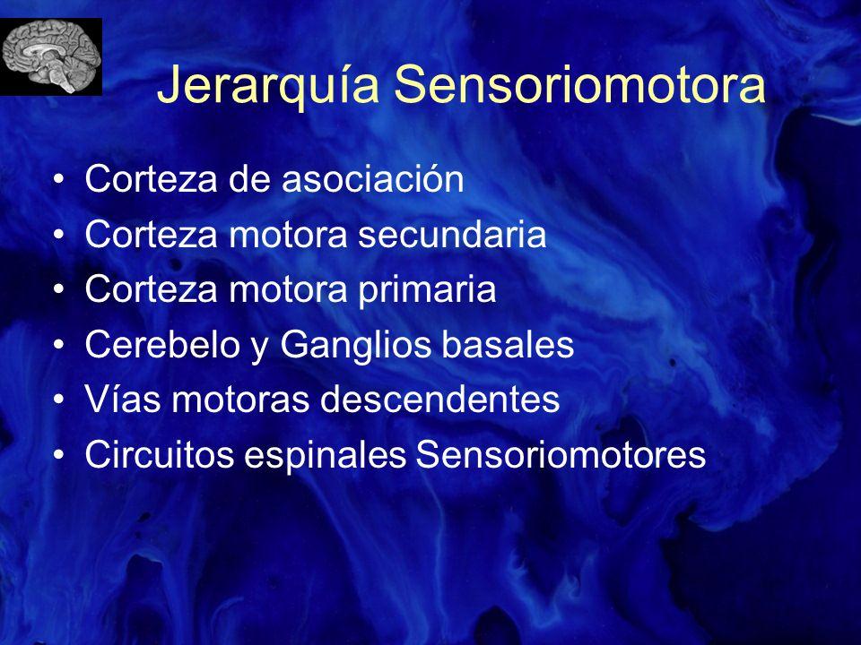 Jerarquía Sensoriomotora Corteza de asociación Corteza motora secundaria Corteza motora primaria Cerebelo y Ganglios basales Vías motoras descendentes
