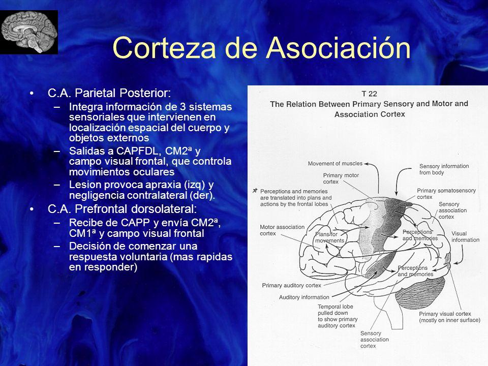 Corteza de Asociación C.A. Parietal Posterior: –Integra información de 3 sistemas sensoriales que intervienen en localización espacial del cuerpo y ob