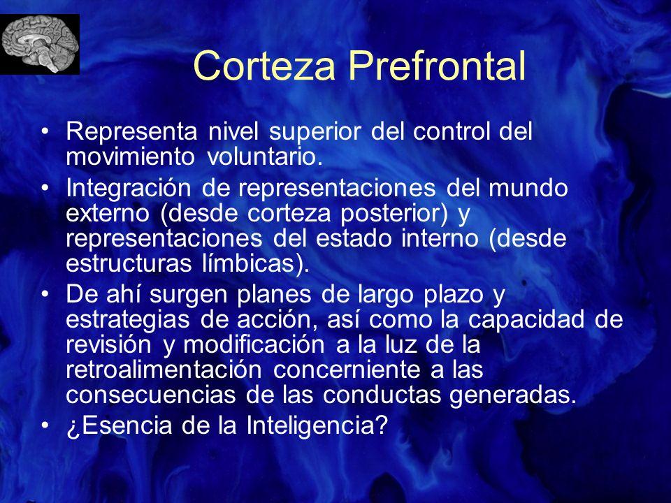 Corteza Prefrontal Representa nivel superior del control del movimiento voluntario. Integración de representaciones del mundo externo (desde corteza p