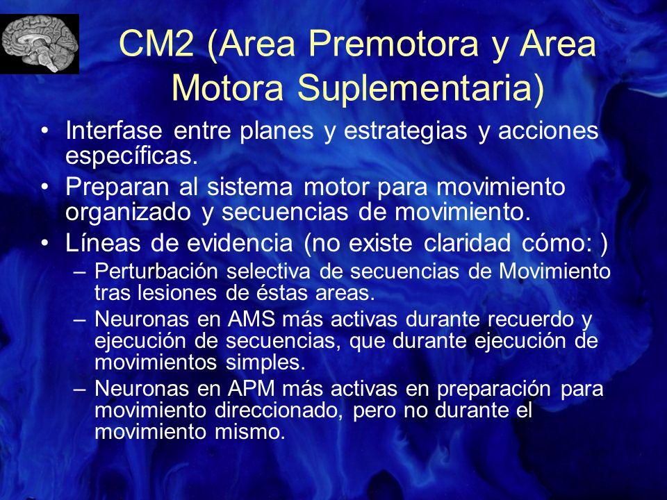 CM2 (Area Premotora y Area Motora Suplementaria) Interfase entre planes y estrategias y acciones específicas. Preparan al sistema motor para movimient