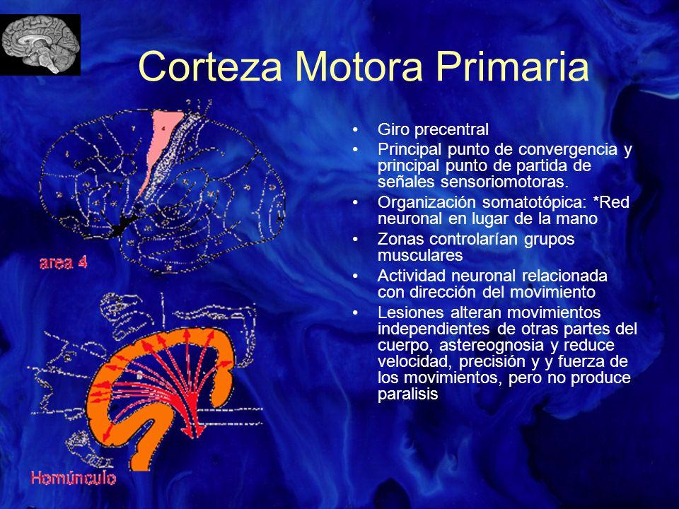 Corteza Motora Primaria (CM1) + involucrada en movimiento que cualquier otra area cortical Importancia Sugerida por: –CM1 tiene umbral más bajo para movimiento por estimulación cortical –Neuronas CM1 disparan antes y durante el movimiento –Tasa de disparo de neuronas CM1 asociado a la fuerza de contracciones de músculos asociados.