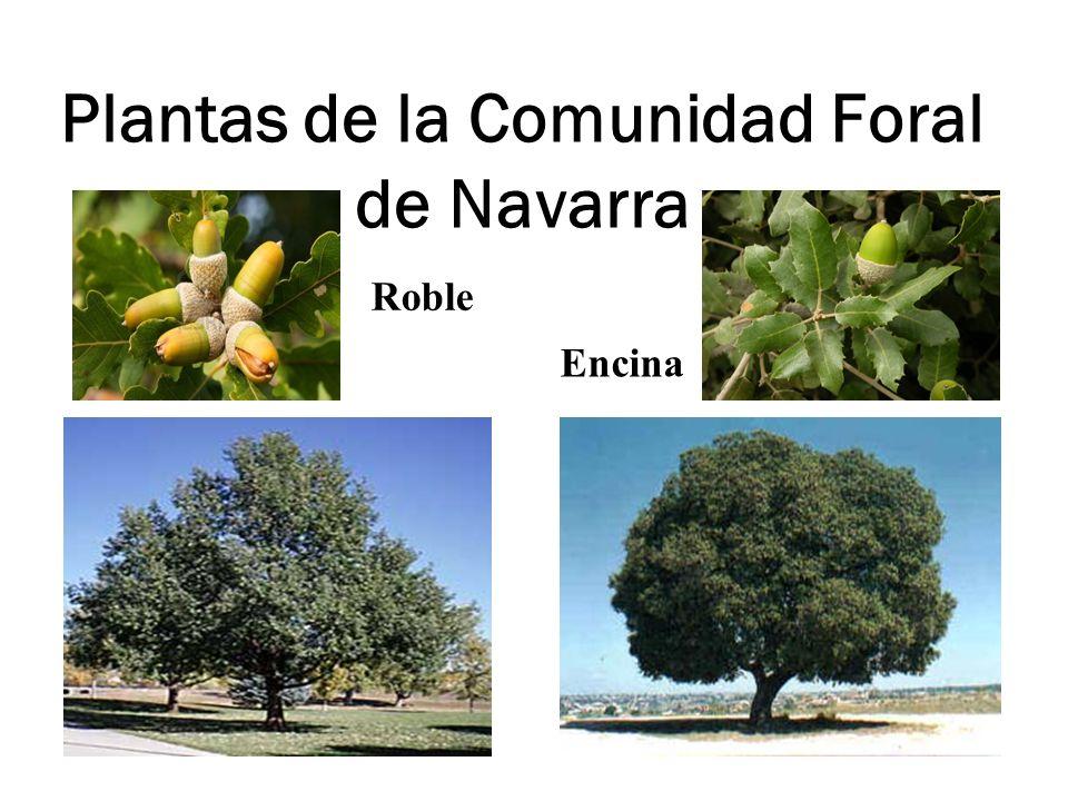 Plantas de la Comunidad Foral de Navarra Roble Encina