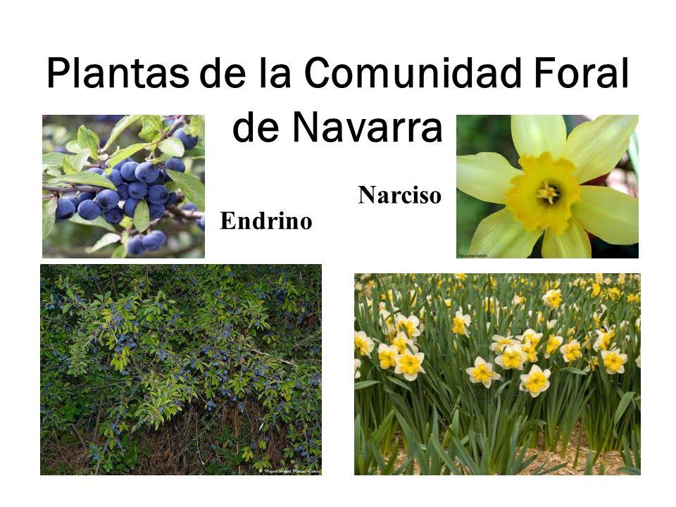 Plantas de la Comunidad Foral de Navarra Endrino Narciso
