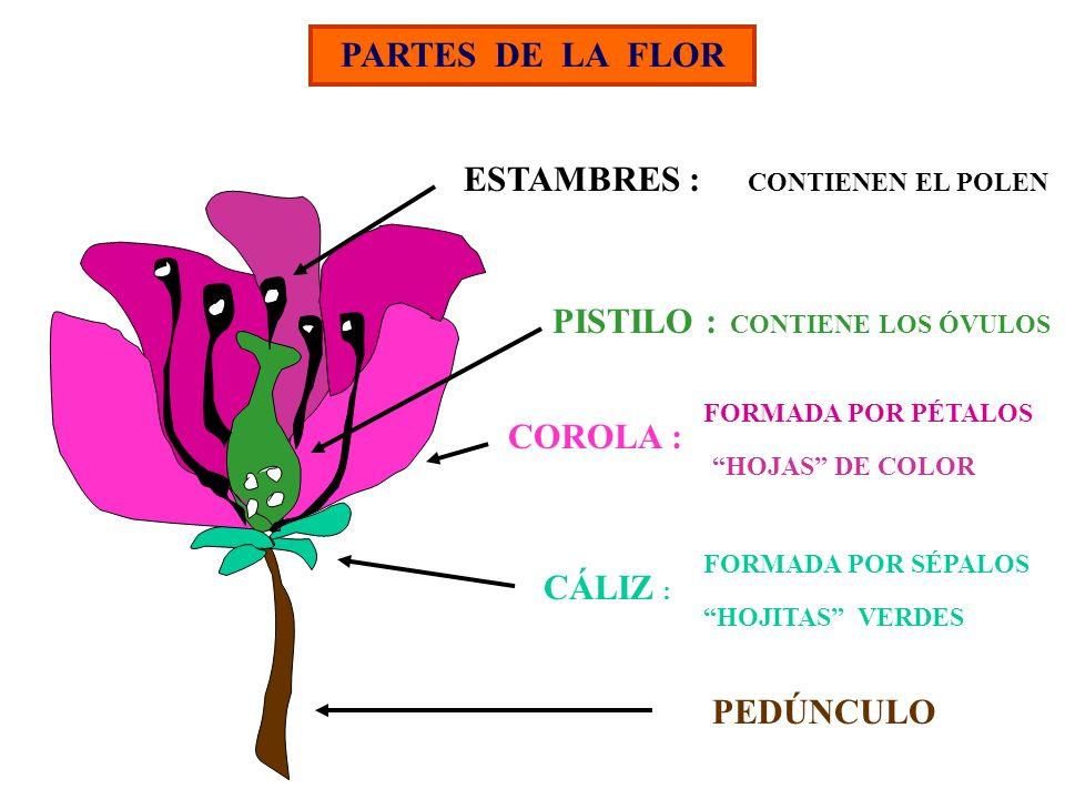 PARTES DE LA FLOR PEDÚNCULO CÁLIZ : HOJITAS VERDES COROLA : FORMADA POR PÉTALOS HOJAS DE COLOR CONTIENEN EL POLEN ESTAMBRES : PISTILO : CONTIENE LOS Ó