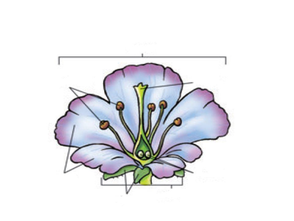 Polinización Es el viaje de los granos de polen desde los estambres de una flor hasta el pistilo de otra.
