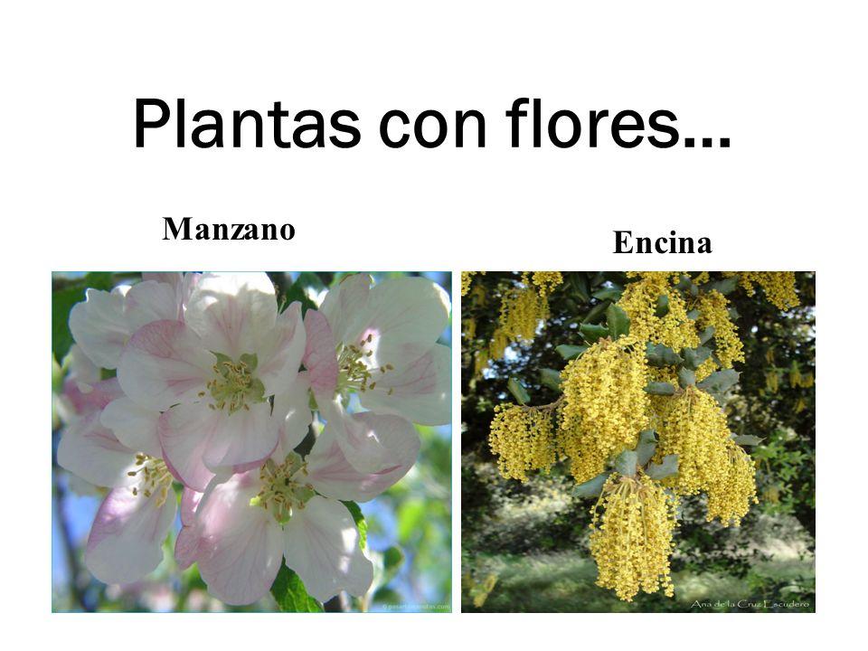 Plantas con flores… Manzano Encina