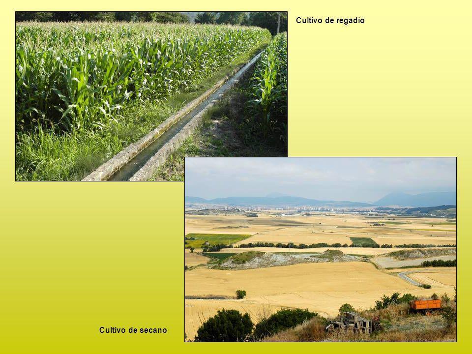 Cultivo de regadío Cultivo de secano