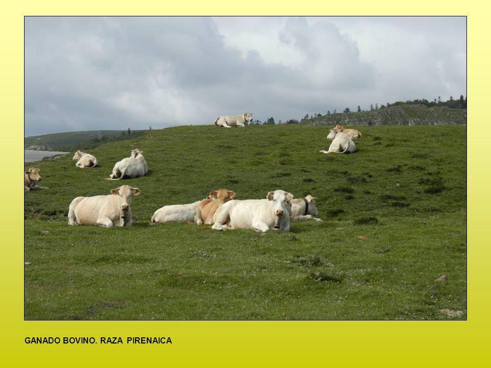 CULTIVO DE ALCACHOFAS EN LA RIBERA TUDELANA