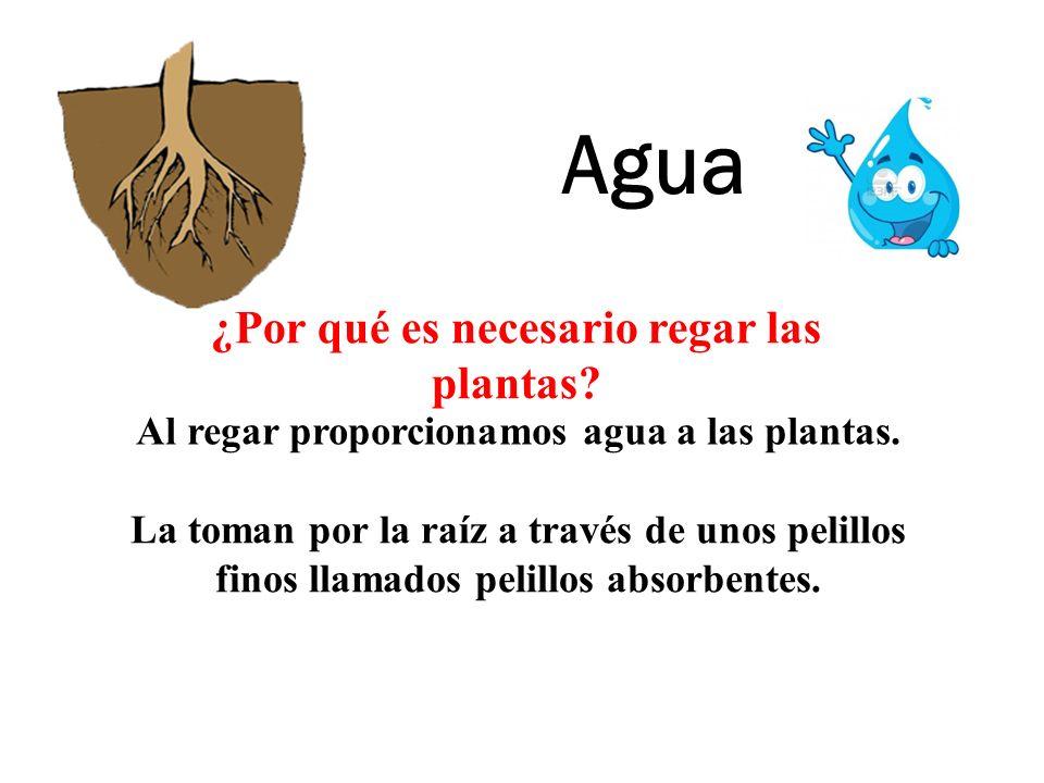Agua ¿Por qué es necesario regar las plantas? Al regar proporcionamos agua a las plantas. La toman por la raíz a través de unos pelillos finos llamado