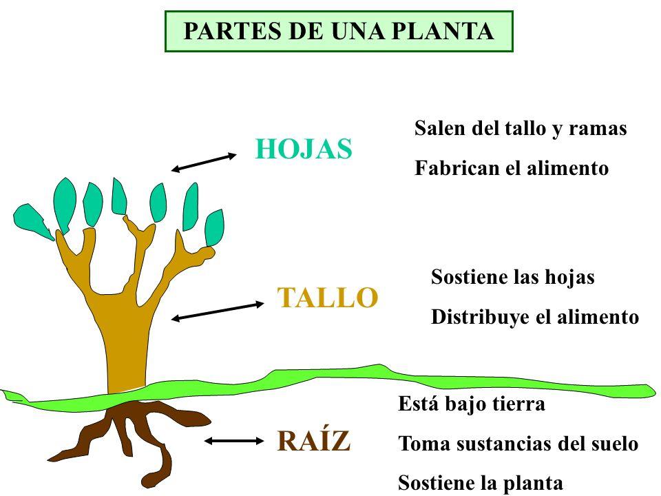 PARTES DE UNA PLANTA RAÍZ Sostiene las hojas Distribuye el alimento TALLO Está bajo tierra Toma sustancias del suelo Sostiene la planta Salen del tall
