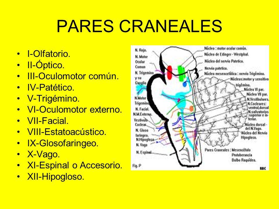 PARES CRANEALES I-Olfatorio. II-Óptico. III-Oculomotor común. IV-Patético. V-Trigémino. VI-Oculomotor externo. VII-Facial. VIII-Estatoacústico. IX-Glo