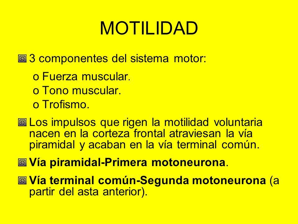 MOTILIDAD 3 componentes del sistema motor: oFuerza muscular. oTono muscular. oTrofismo. Los impulsos que rigen la motilidad voluntaria nacen en la cor