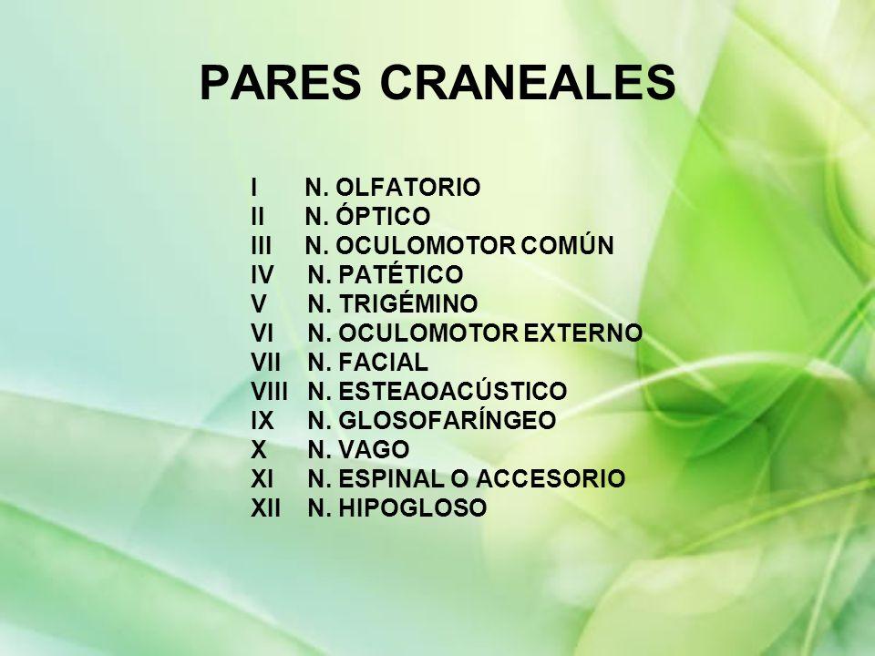 PARES CRANEALES I N. OLFATORIO II N. ÓPTICO III N. OCULOMOTOR COMÚN IV N. PATÉTICO V N. TRIGÉMINO VI N. OCULOMOTOR EXTERNO VII N. FACIAL VIII N. ESTEA
