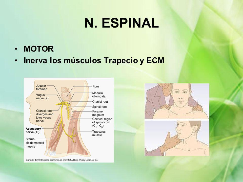 N. ESPINAL MOTOR Inerva los músculos Trapecio y ECM