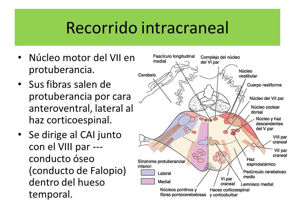 Recorrido intracraneal Núcleo motor del VII en protuberancia. Sus fibras salen de protuberancia por cara anteroventral, lateral al haz corticoespinal.