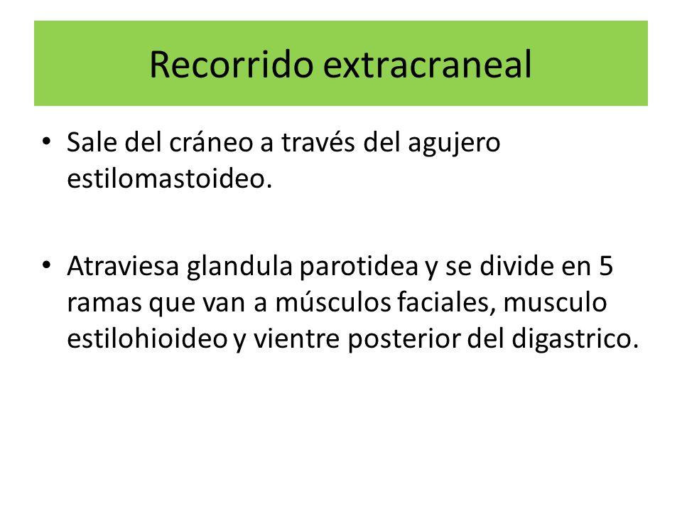 Recorrido extracraneal Sale del cráneo a través del agujero estilomastoideo. Atraviesa glandula parotidea y se divide en 5 ramas que van a músculos fa