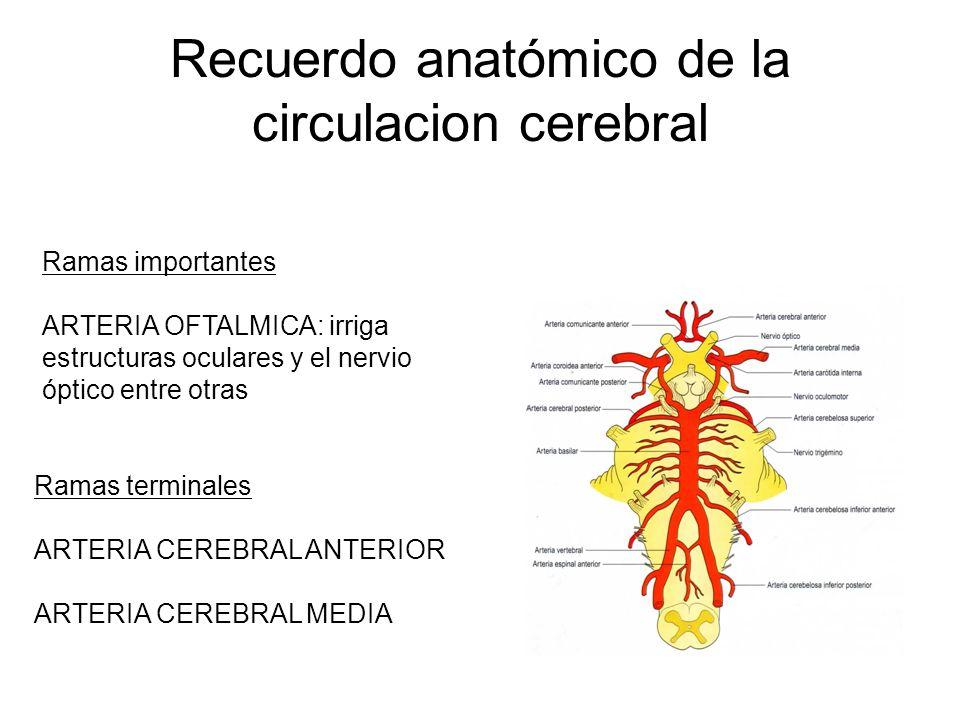 Recuerdo anatómico de la circulacion cerebral Ramas importantes ARTERIA OFTALMICA: irriga estructuras oculares y el nervio óptico entre otras Ramas te