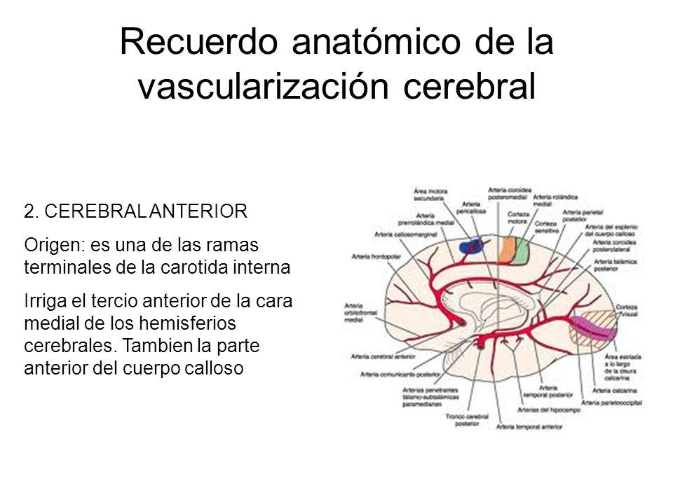 Recuerdo anatómico de la vascularización cerebral 2. CEREBRAL ANTERIOR Origen: es una de las ramas terminales de la carotida interna Irriga el tercio