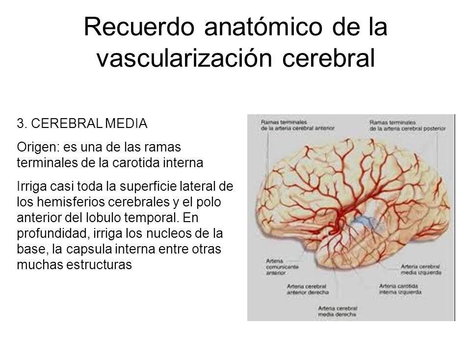Recuerdo anatómico de la vascularización cerebral 3. CEREBRAL MEDIA Origen: es una de las ramas terminales de la carotida interna Irriga casi toda la