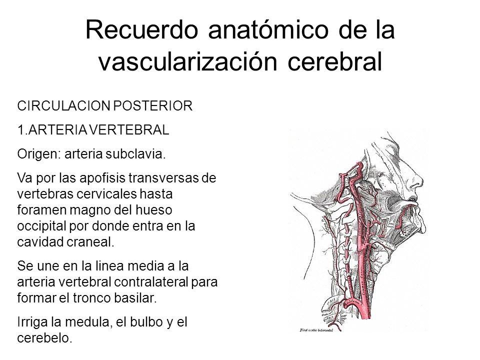 Recuerdo anatómico de la vascularización cerebral CIRCULACION POSTERIOR 1.ARTERIA VERTEBRAL Origen: arteria subclavia. Va por las apofisis transversas