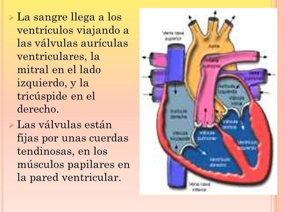 La sangre llega a los ventrículos viajando a las válvulas aurículas ventriculares, la mitral en el lado izquierdo, y la tricúspide en el derecho. Las