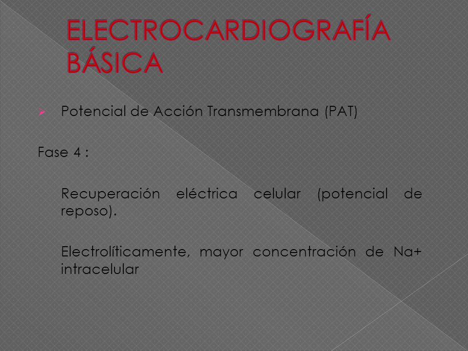 Potencial de Acción Transmembrana (PAT) Fase 4 : Recuperación eléctrica celular (potencial de reposo). Electrolíticamente, mayor concentración de Na+