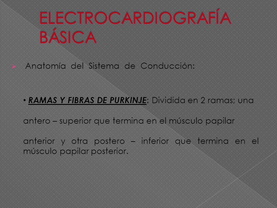 Anatomía del Sistema de Conducción: RAMAS Y FIBRAS DE PURKINJE : Dividida en 2 ramas; una antero – superior que termina en el músculo papilar anterior