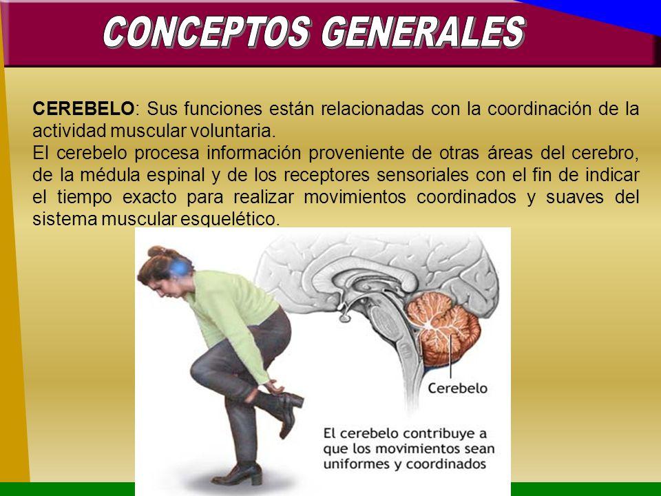 CEREBELO: Sus funciones están relacionadas con la coordinación de la actividad muscular voluntaria. El cerebelo procesa información proveniente de otr