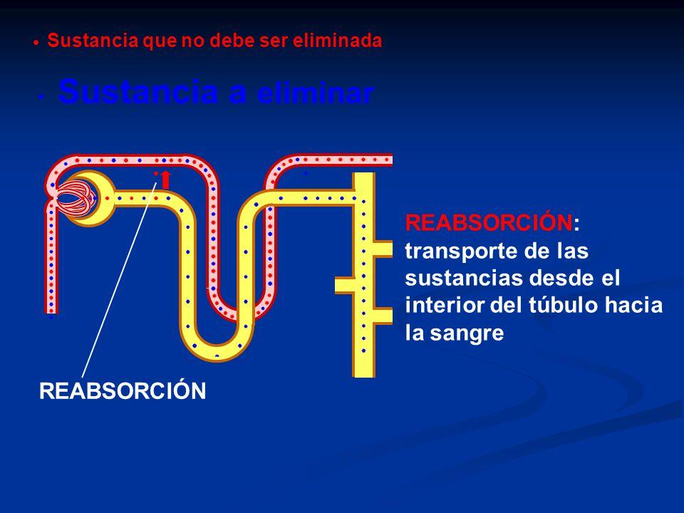 REABSORCIÓN REABSORCIÓN: transporte de las sustancias desde el interior del túbulo hacia la sangre Sustancia a eliminar Sustancia que no debe ser elim