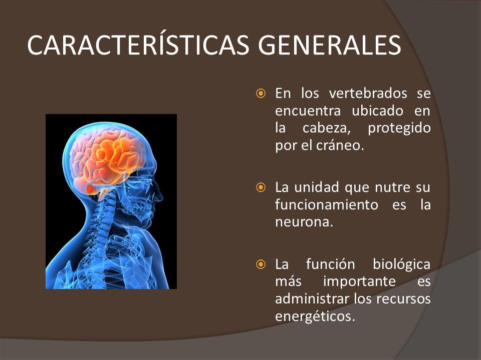 CARACTERÍSTICAS GENERALES (CONTINUACIÓN) Los cerebros controlan el comportamiento motriz.