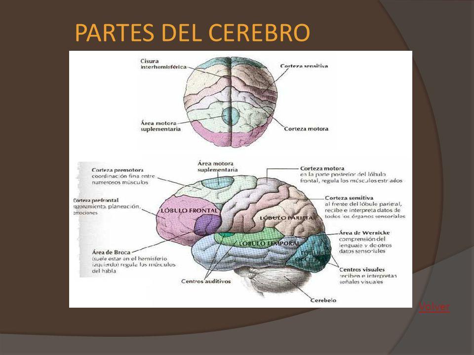 REGIONES (EL CEREBRO) Está la inteligencia y la capacidad de aprendizaje, de juicio y razonamiento.