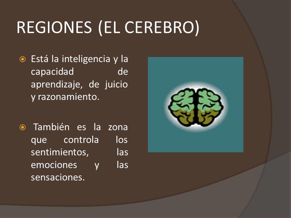 REGIONES (EL CEREBELO) Es más pequeño, más o menos mide la octava parte del cerebro.