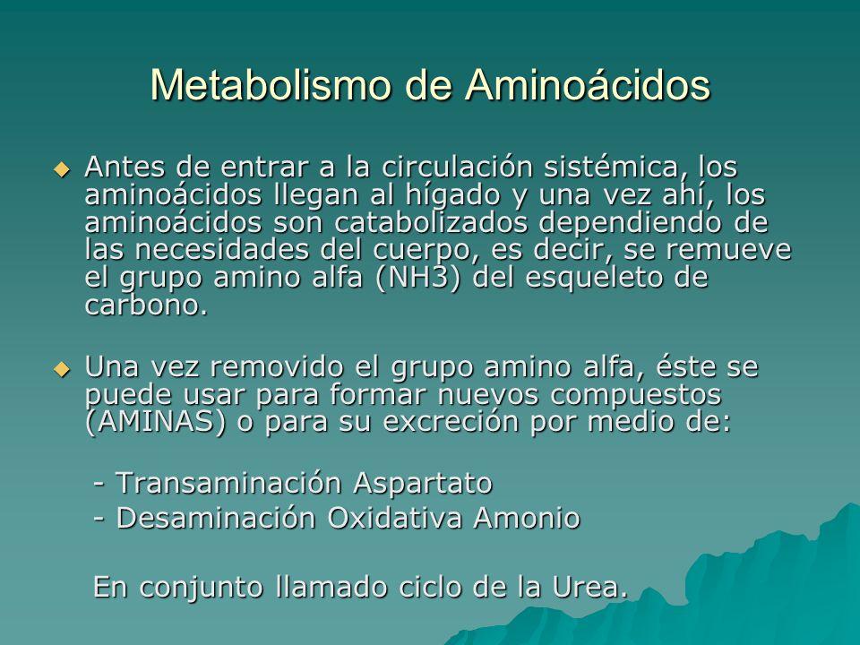 Metabolismo de Aminoácidos Antes de entrar a la circulación sistémica, los aminoácidos llegan al hígado y una vez ahí, los aminoácidos son catabolizad