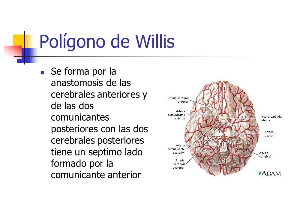 Polígono de Willis Se forma por la anastomosis de las cerebrales anteriores y de las dos comunicantes posteriores con las dos cerebrales posteriores t