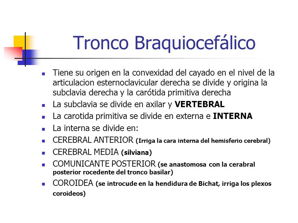 Tronco Braquiocefálico Tiene su origen en la convexidad del cayado en el nivel de la articulacion esternoclavicular derecha se divide y origina la sub
