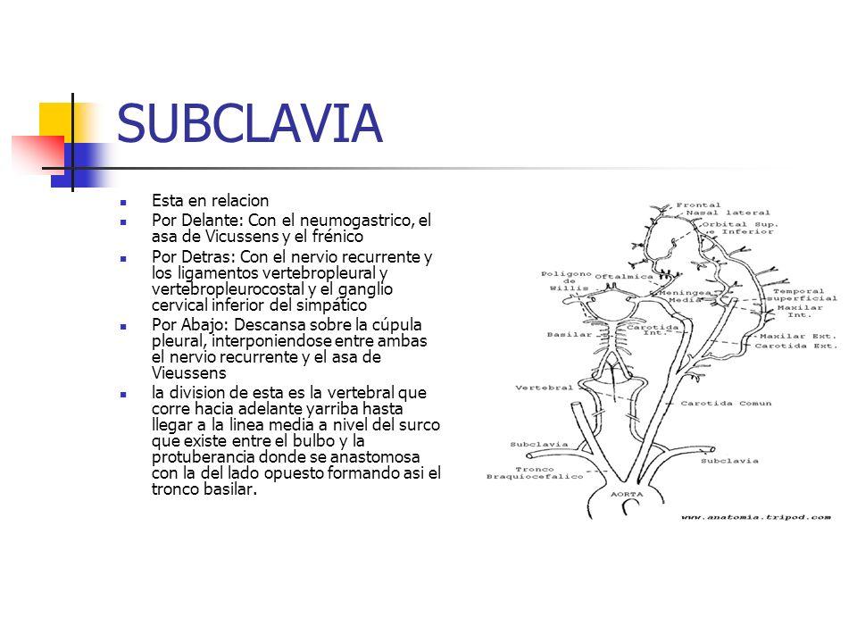 SUBCLAVIA Esta en relacion Por Delante: Con el neumogastrico, el asa de Vicussens y el frénico Por Detras: Con el nervio recurrente y los ligamentos v
