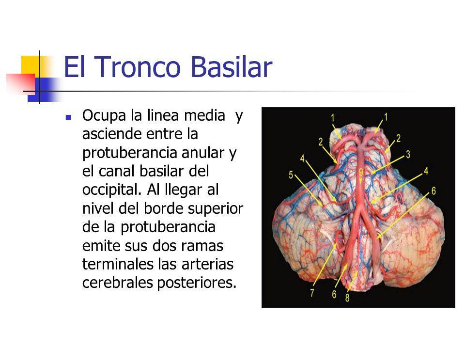 El Tronco Basilar Ocupa la linea media y asciende entre la protuberancia anular y el canal basilar del occipital. Al llegar al nivel del borde superio