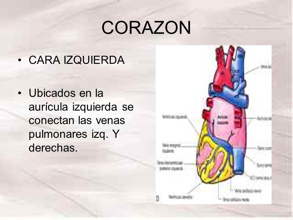 CORAZON CARA IZQUIERDA Ubicados en la aurícula izquierda se conectan las venas pulmonares izq. Y derechas.