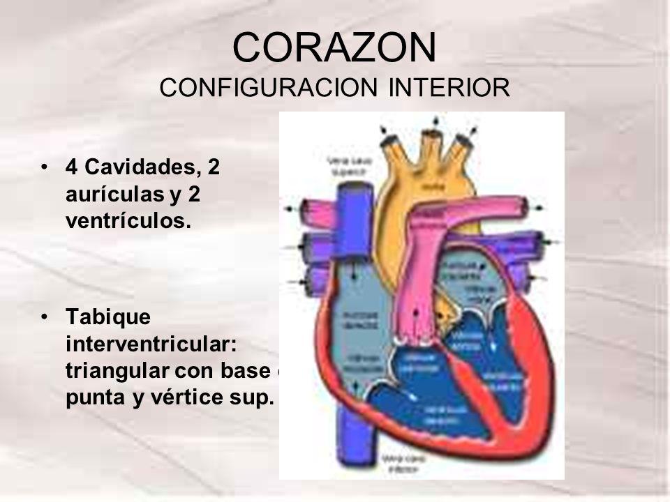 CORAZON CONFIGURACION INTERIOR 4 Cavidades, 2 aurículas y 2 ventrículos. Tabique interventricular: triangular con base en punta y vértice sup.