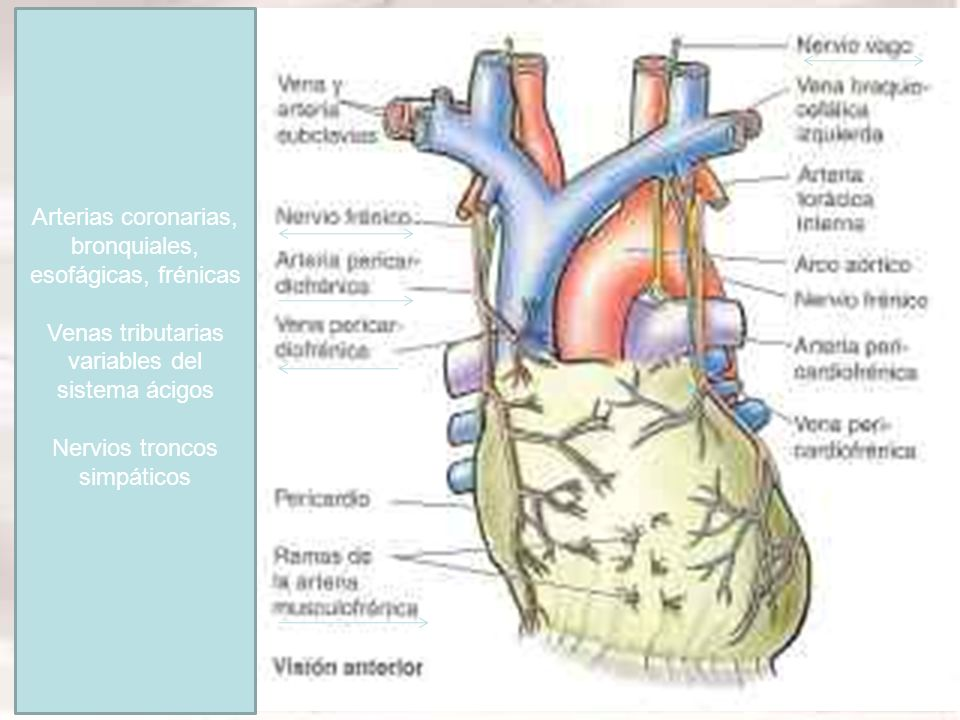 Arterias coronarias, bronquiales, esofágicas, frénicas Venas tributarias variables del sistema ácigos Nervios troncos simpáticos