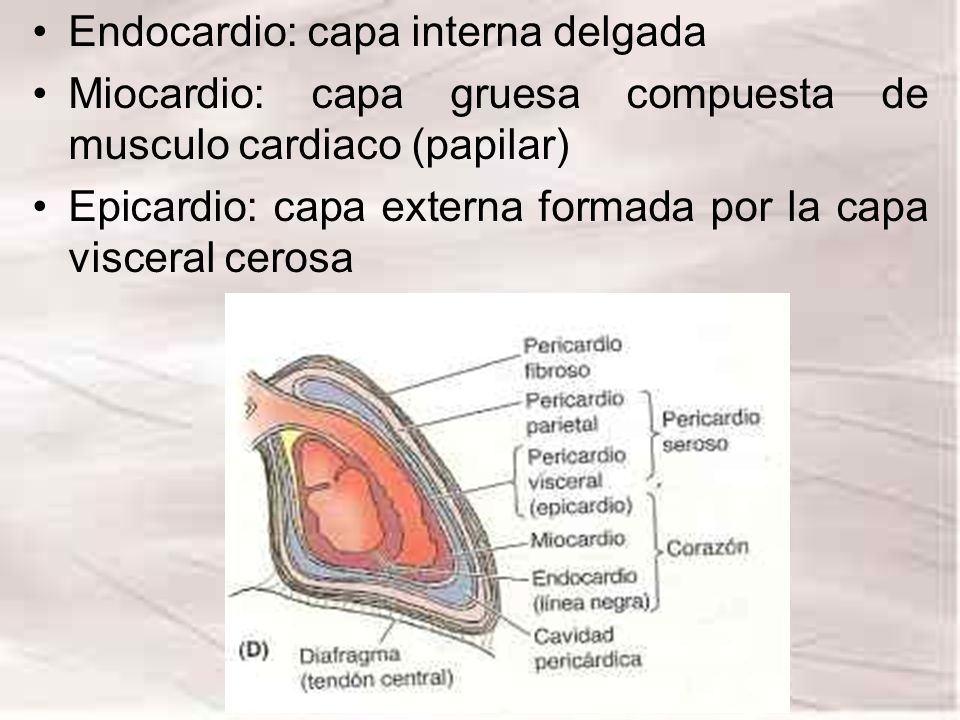 Endocardio: capa interna delgada Miocardio: capa gruesa compuesta de musculo cardiaco (papilar) Epicardio: capa externa formada por la capa visceral c