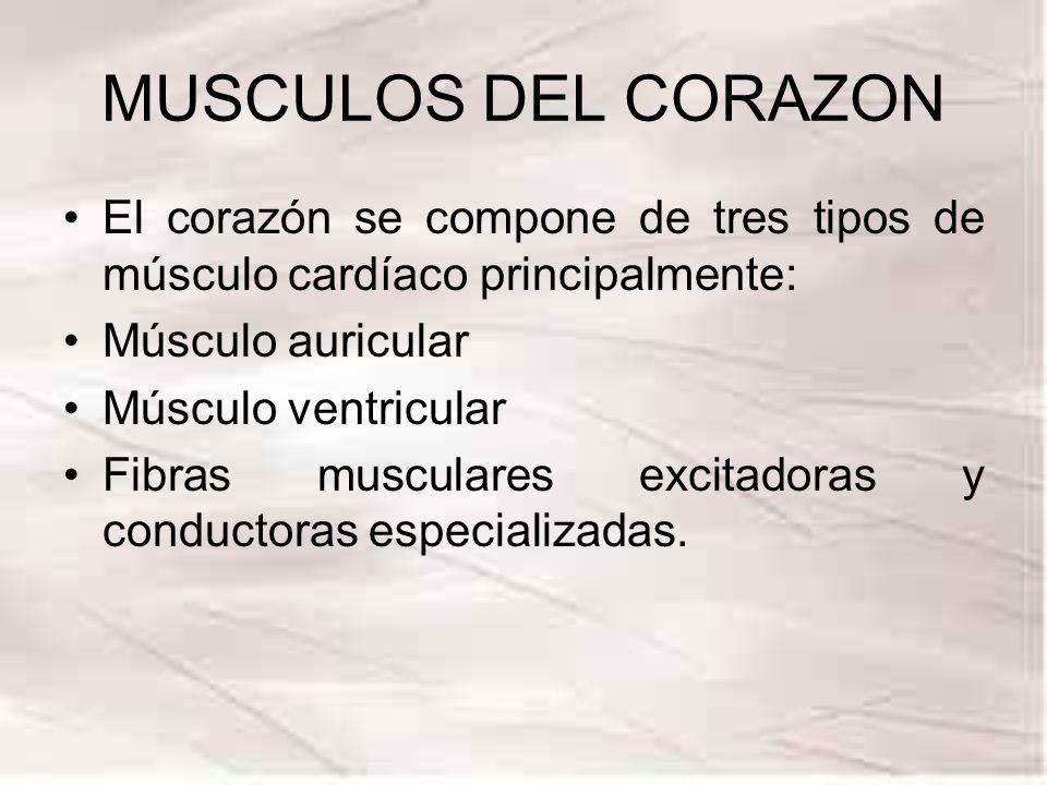 MUSCULOS DEL CORAZON El corazón se compone de tres tipos de músculo cardíaco principalmente: Músculo auricular Músculo ventricular Fibras musculares e
