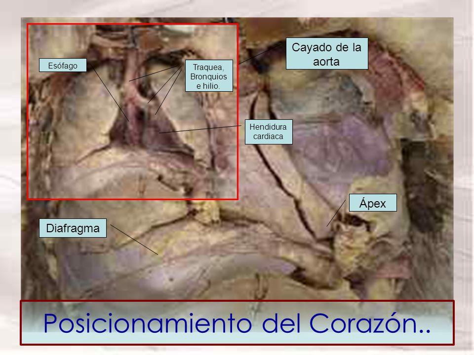 Posicionamiento del Corazón.. Ápex Cara Anterior Cayado de la aorta Diafragma Hendidura cardiaca Traquea, Bronquios e hilio. Esófago