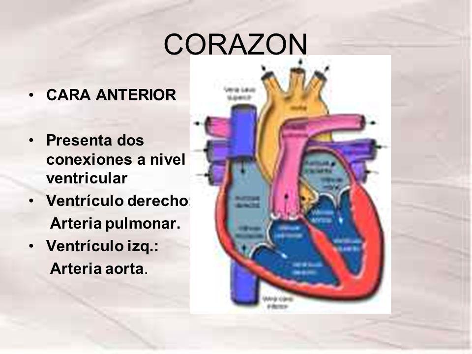 CORAZON CARA ANTERIOR Presenta dos conexiones a nivel ventricular Ventrículo derecho: Arteria pulmonar. Ventrículo izq.: Arteria aorta.