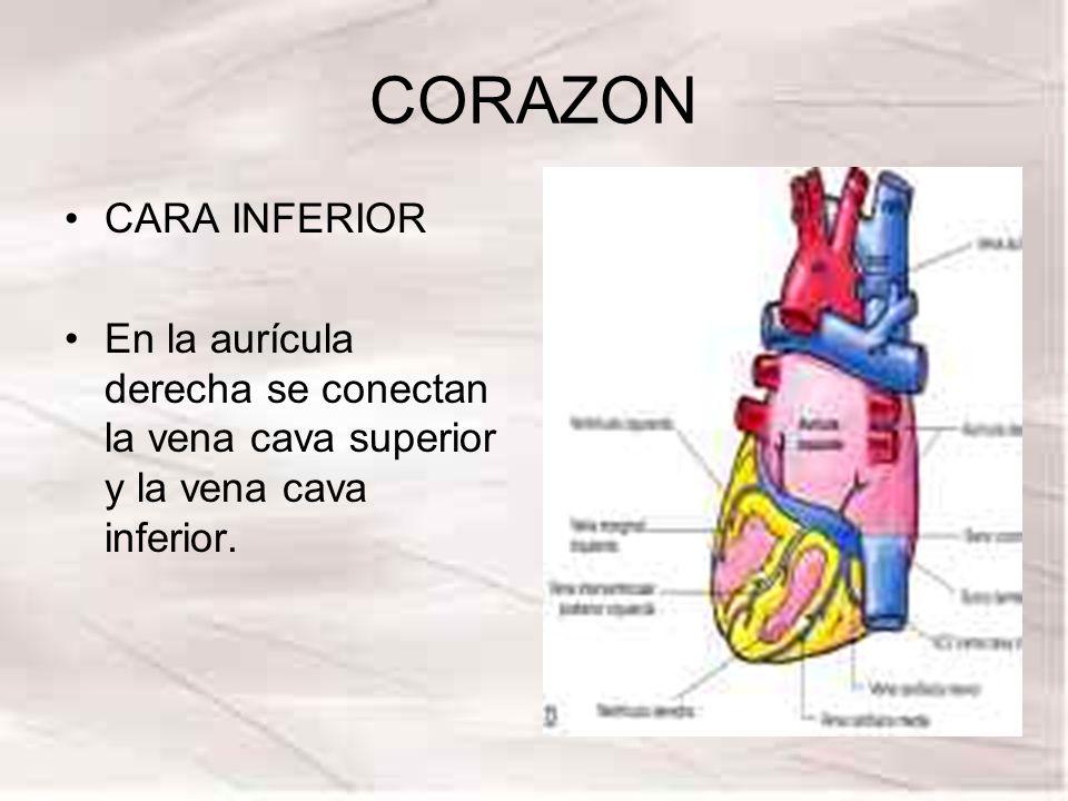 CORAZON CARA INFERIOR En la aurícula derecha se conectan la vena cava superior y la vena cava inferior.