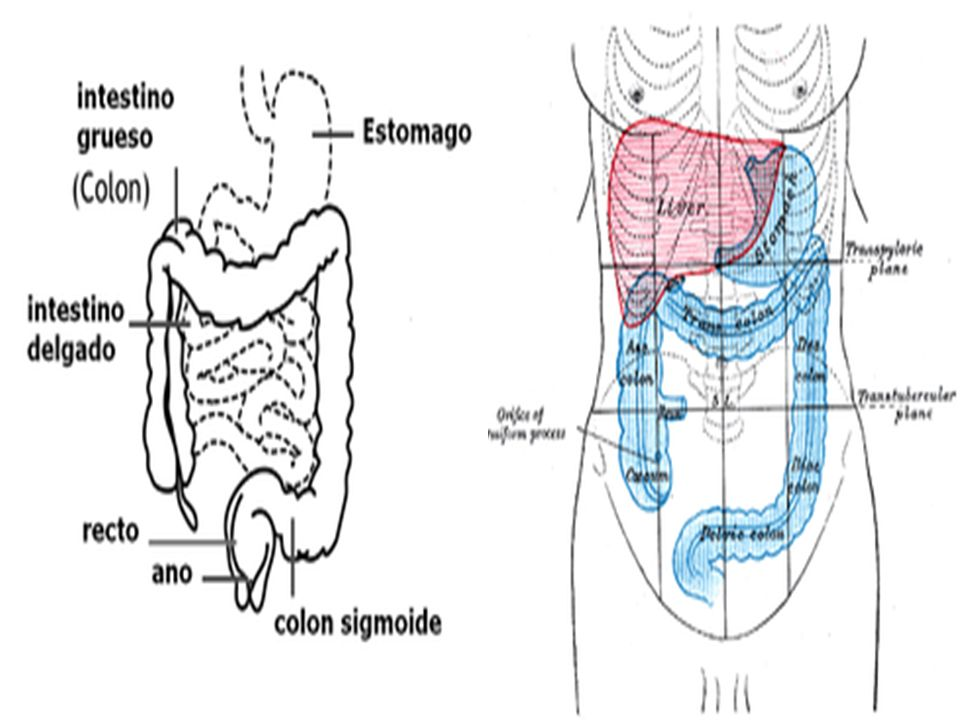 DIVISION DEL COLON Colon ascendente Es la primera sección y comienza en el área de unión con el intestino tenue.