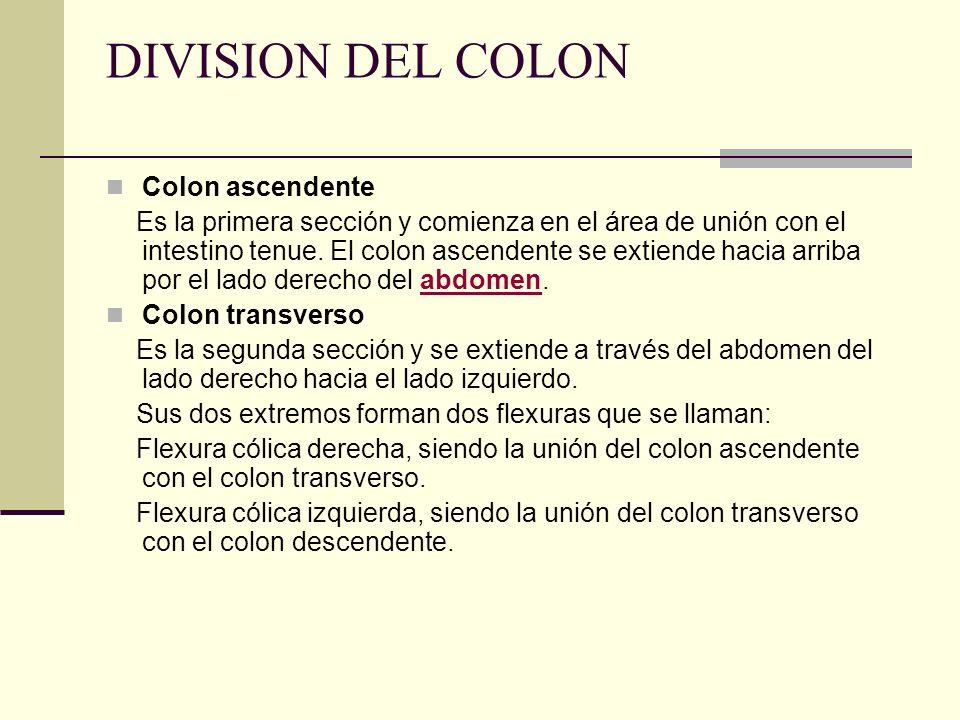 DIVISION DEL COLON Colon ascendente Es la primera sección y comienza en el área de unión con el intestino tenue. El colon ascendente se extiende hacia
