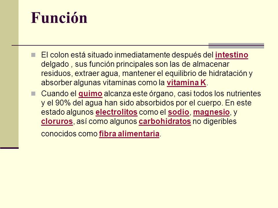 Función El colon está situado inmediatamente después del intestino delgado, sus función principales son las de almacenar residuos, extraer agua, mante